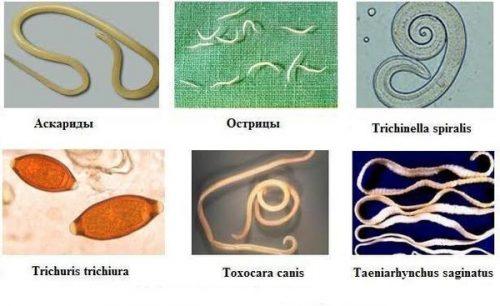 Как приготовить полынь от паразитов